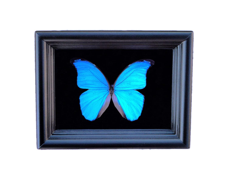 실제 프레임 블루 모포 나비 디스플레이 그림자 상자