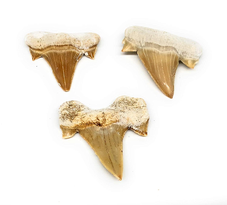 3 개 많은 15.6 그램 1.1-1.4 작은 자연 화석화 화석 물고기 상어 치아 상어 치아 모로코 B12754