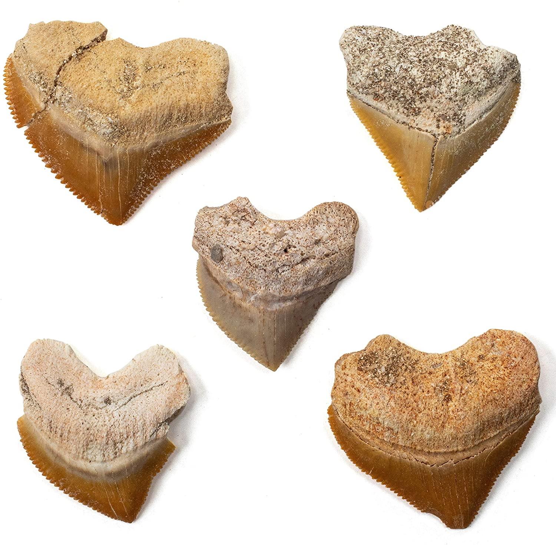 KALIFANO 본격적인 화석화 된 선사 시대 CORAX 어 치아(5 팩)에서 모로코-어 치아에 대한 화석 컬렉션과 교육의 목적(한 정보를 포함 카드)