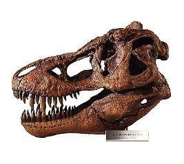 티라노사우루스 렉스 해골 모델 1 | 4 규모