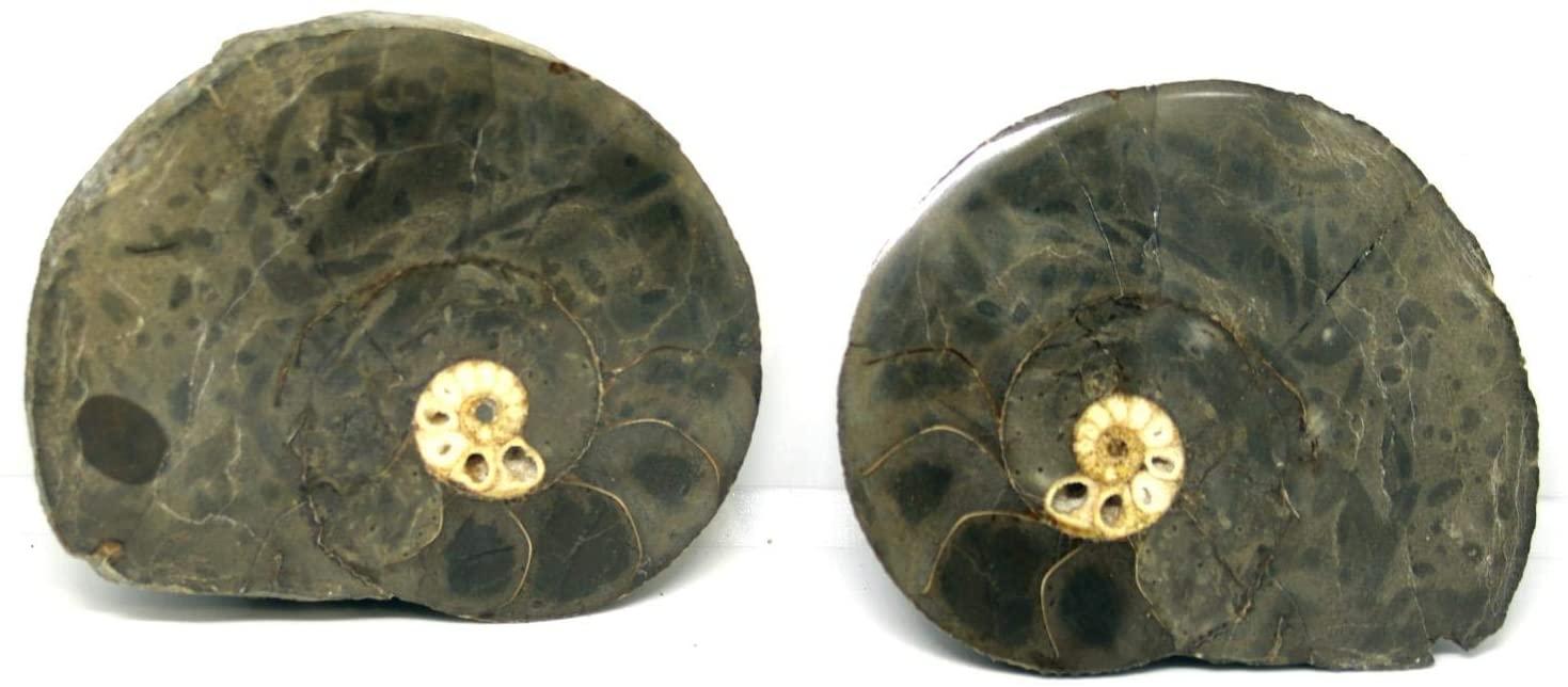 암모나이트 HOPLOSCAPHITES 스플릿 폴리 쉬드 화석 몬타나 100MYO W | LABEL 16286 22O